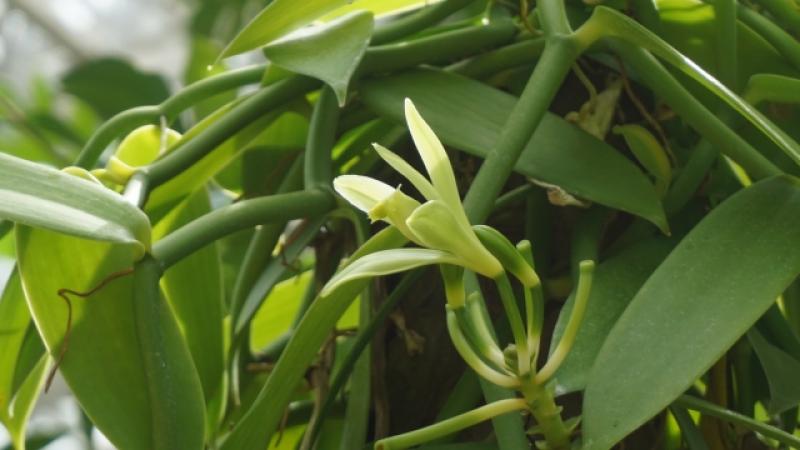 塗香の主要成分4. 香子蘭